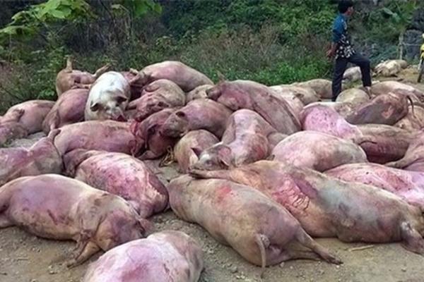 Nhiều nơi dịch bệnh trên đàn gia súc lây lan do người chăn nuôi chủ quan, mua phải con giống mang mầm bệnh