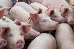 TP. HCM áp dụng quy trình kỹ thuật, công nghệ mới trong chăn nuôi gia súc