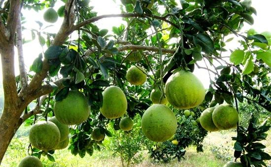 Phú Thọ gây dựng thương hiệu nông sản từ 75 làng nghề truyền thống