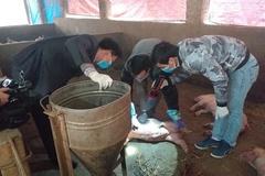 Gia súc quanh ổ dịch lở mồm long móng ở Sông Công được tiêm vắc-xin bao vây