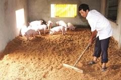 Nuôi lợn trên nền đệm lót sinh học: Vừa ngừa dịch bệnh, vừa tiết kiệm chi phí