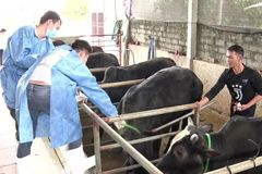 Hà Tĩnh:23.060 con trâu, bò ở Hương Khê được tiêm vắc-xin ngừa bệnh lở mồm long móng