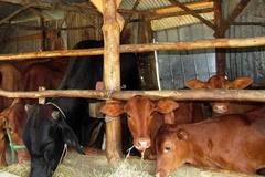 Người dân huyện Lắk chủ động bảo vệ đàn gia súc trước dịch lở mồm long móng
