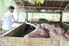 Bến Tre lập vành đai bảo vệ gia súc trước dịch lở mồm long móng