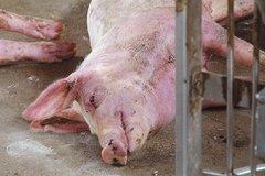 Ninh Thuận: Triển khai tiêm phòng, tạo vành đai an toàn chống dịch LMLM cho đàn gia súc