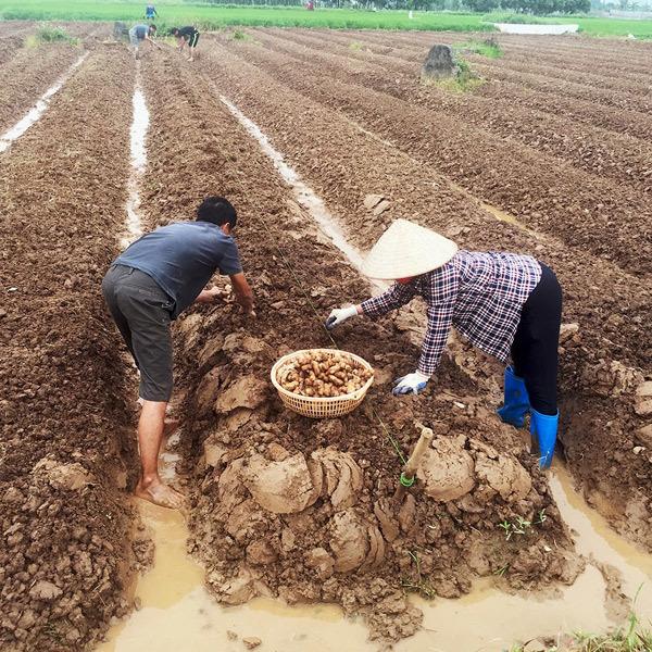 Gừng Trí Đức, 20 năm nỗ lực hiện đại hóa củ gừng Việt Nam
