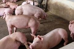 Nam Định: Xử lý hiệu quả các ổ dịch bệnh nhờ đẩy mạnh chăn nuôi an toàn sinh học