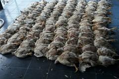 'Mỗi sáng thức dậy, tôi nhặt cả trăm con gà chết đem thiêu'