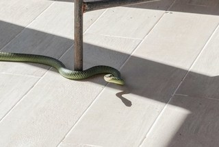 Người phụ nữ sợ hãi khi phát hiện rắn mẹ đẻ 17 con dưới gầm giường