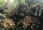 Longan distribution gets stuck, farmers suffer