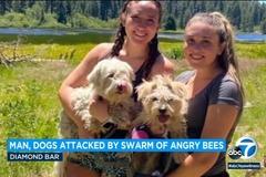 Cựu cảnh sát Mỹ khóc ròng nhìn đàn chó bị hàng nghìn con ong 'vây đánh'
