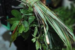 Xông lá, xông tinh dầu có điều trị được Covid-19?