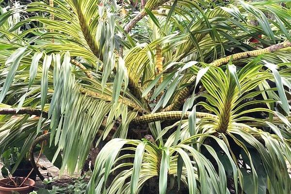 Không thể đi du lịch, người Singapore đổ xô sưu tầm cây cảnh quý hiếm