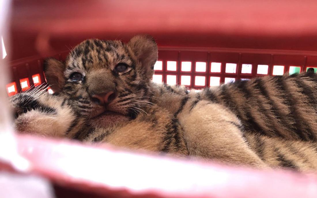 Công an Nghệ An vây bắt ô tô chở 7 cá thể hổ trái phép