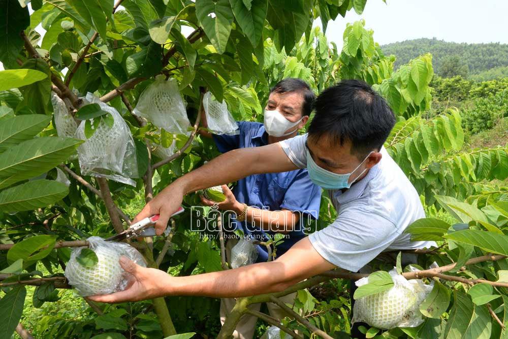 Hai giống na lạ được khách hàng săn đón ở Bắc Giang