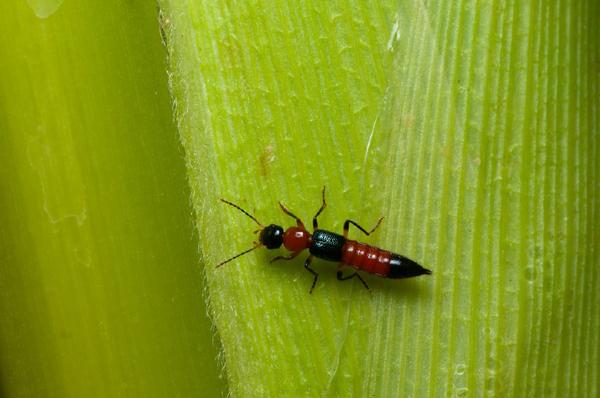 Chuẩn bị gì khi đến mùa kiến ba khoang?