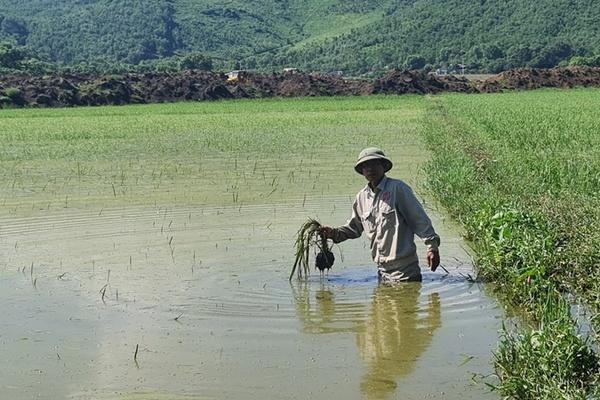 Hỗ trợ diện tích lúa bị ngập ở Thanh Hóa do thi công cao tốc