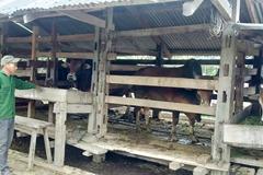 Nam Định chủ động lấy mẫu bệnh phẩm trên đàn lợn để xét nghiệm phát hiện sớm dịch bệnh