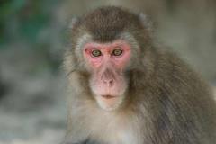Con khỉ cái gây bất ngờ khi trở thành 'bà trùm' trên hòn đảo Nhật Bản