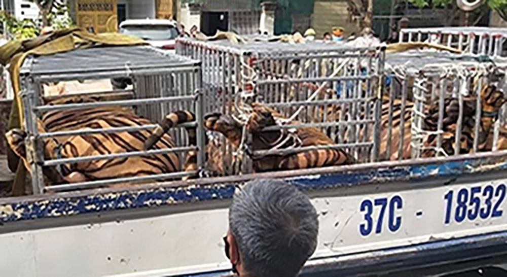 Bắt giữ vụ nuôi nhốt 17 con hổ trái phép trong nhà dân ở Nghệ An