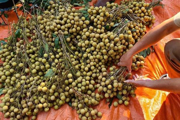 Đặc sản Sông Mã rớt giá, rẻ hơn rau vẫn vắng khách mua
