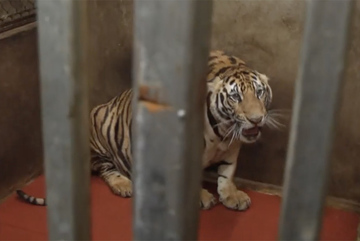 8 of 17 tigers die after being rescued from cages in Nghe An