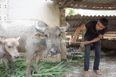 Lai Châu phấn đấu xây dựng vùng an toàn dịch bệnh lở mồm long móng cấp xã
