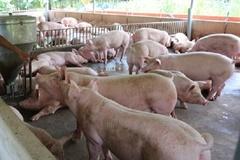 """Hà Giang: """"Hỗ trợ áp dụng các biện pháp ATSH trong chăn nuôi lợn"""""""