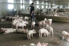 Điện Biên: Chăn nuôi an toàn sinh học – tạo vành đai an toàn bảo vệ gia súc