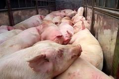 """Nhờ cam kết """"5 không"""": Thái Nguyên cơ bản đã kiểm soát được dịch lở mồm long móng cho đàn gia súc"""