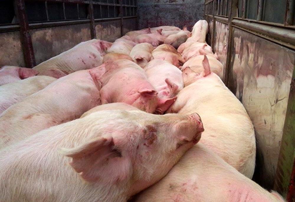 Nhờ cam kết '5 không': Thái Nguyên cơ bản đã kiểm soát được dịch lở mồm long móng cho đàn gia súc