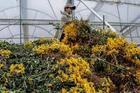 Hàng triệu cành hoa bị nhổ bỏ ở Đà Lạt