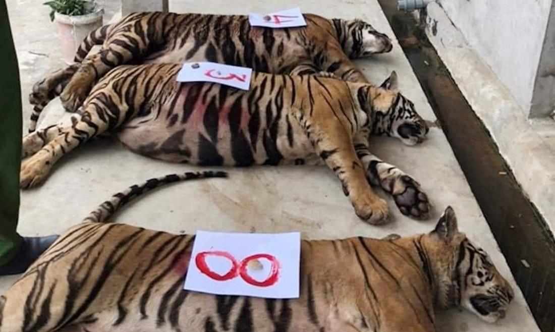 8 con hổ đã chết sau vụ bắt giữ 17 cá thể hổ nuôi nhốt trái phép ở Nghệ An