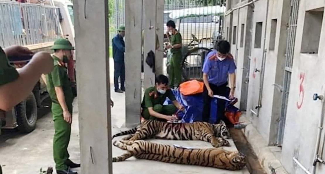 8 con hổ đã ϲհếт sau vụ bắt giữ 17 cá thể hổ nuôi nhốt trái phép ở Nghệ An - VietNamNet