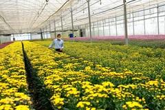 Lâm Đồng cần 'giải cứu' hàng trăm triệu cành hoa, có loại 10.000 đồng/kg