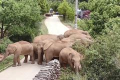 Đàn voi nổi tiếng thế giới trở về nhà sau 17 tháng lang thang