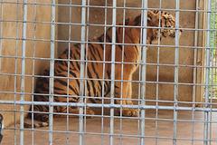 Chín con hổ ở Nghệ An sau giải cứu được bảo vệ nghiêm ngặt