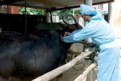 Phù Mỹ tiêm vắc-xin lở mồm long móng cho gia súc đợt 1/2021