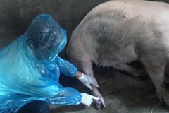 Huyện Hải Hậu triển khai nhiều hoạt động phòng ngừa dịch lở mồm long móng trong thời điểm giao mùa