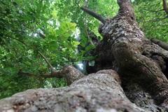 Ngắm 'cụ' thị gần 500 năm tuổi vẫn xanh tươi, sừng sững