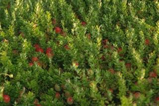 Bí mật đằng sau loại quả trồng ở Mỹ, về Việt Nam bán tiền triệu/kg
