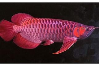 Cơn sốt cá rồng: Món ăn nhà nghèo thành báu vật trăm triệu của dân giàu
