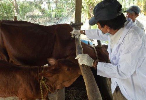 Cần duy trì tiêm phòng bệnh lở mồm long móng  trâu, bò 2 lần/năm