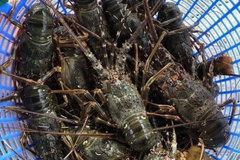 Tôm hùm giảm giá hơn 1 triệu đồng/kg vẫn khó bán