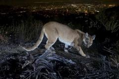 Bà mẹ Mỹ chiến đấu tay không với sư tử núi để cứu con