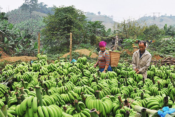 China stops transactions, 20,000 tons of bananas go unsold