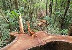 Phát hiện vụ hủy hoại rừng quy mô lớn ở Đắk Lắk