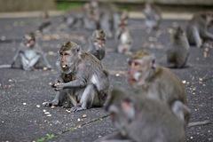 Không còn du khách cho đồ ăn, khỉ đói ở Bali tấn công nhà dân