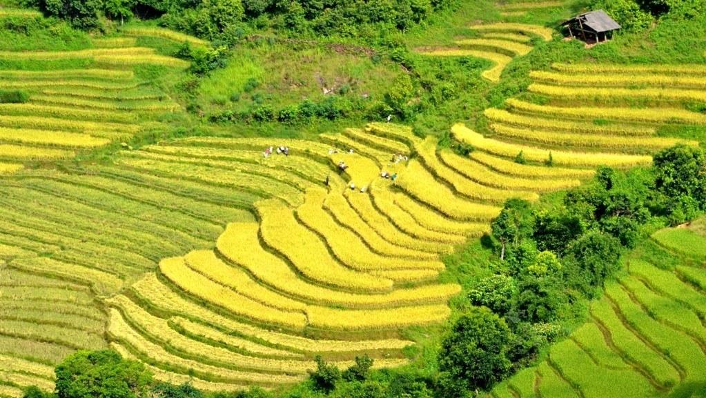 Golden glow of rice terrace fields in Lao Cai