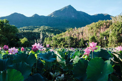 Lotus harvest season in Quang Nam